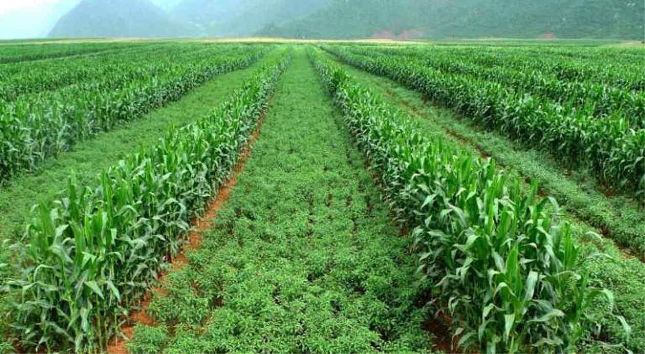 """Resultado de imagen para Cereales y leguminosas combinados en un lote: las ventajas de los """"cultivos intercalados"""""""