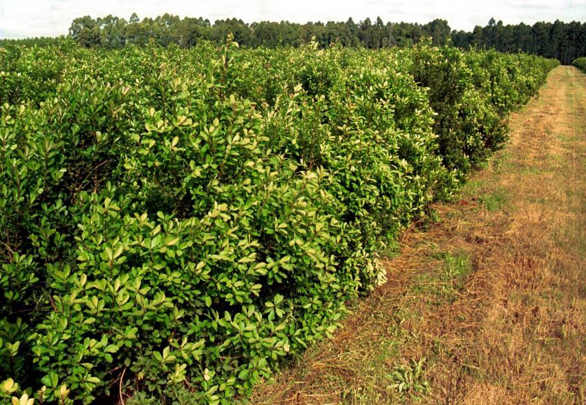 Resultado de imagen para yerba mate plantacion
