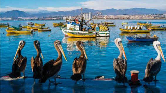 Pelícanos en el puerto de Coquimbo. (123RF)