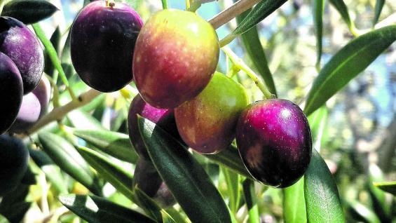 Zonas olivícolas que producen aceites con calidad certificada.