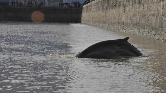 BUENOS AIRES. Apareció una ballena en un dique de Puerto Madero (DyN).