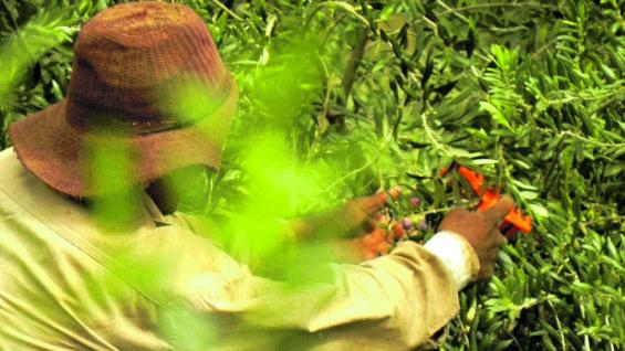 Cosecha manual que garantiza la calidad de las olivas.