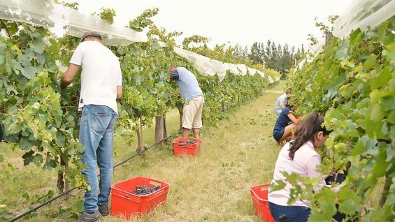 Diversas actividades en los viñedos de la chacra. (Chacra de Luna)
