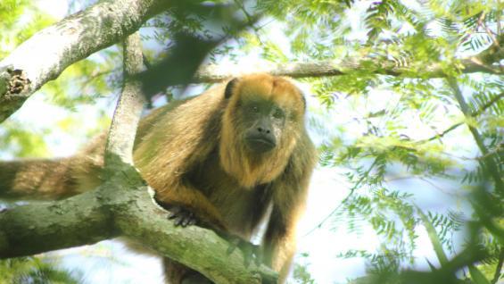 En una parte del recorrido, los monos aulladores aparecen entre los árboles para observar a los visitantes. (Secretaría de Turismo de Santa Fe)