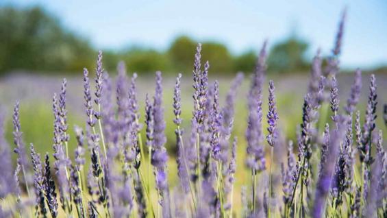 Las plantaciones de lavanda se pueden apreciar desde la ruta, como un colchón violeta. (Beba Cittadini)