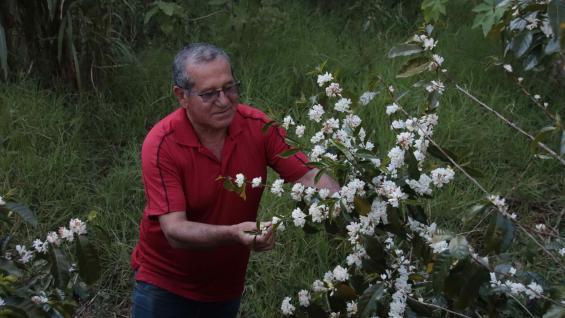 Plantaciones en flor. La planta del café es un arbusto. Tiene cerca de 500 géneros y 8 mil especies. (Graciela Cutuli)