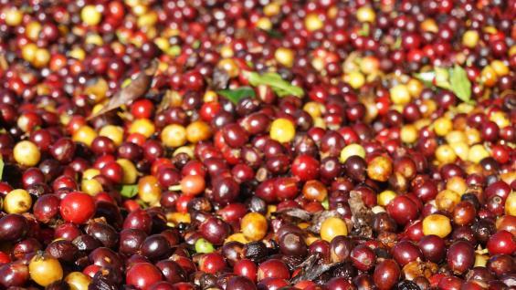 Paleta. Las bayas de café, en sus diferentes tonalidades. (Graciela Cutuli)