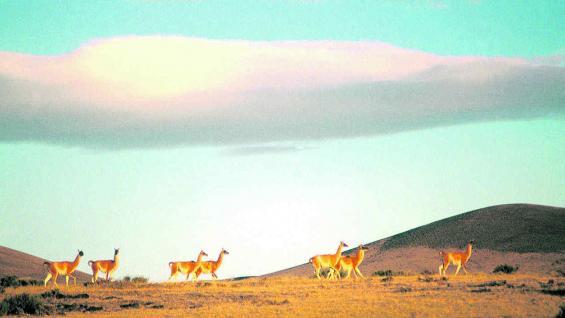 Reserva Provincial La Payunia, propuesta para ser declarada Patrimonio Natural de la Humanidad.