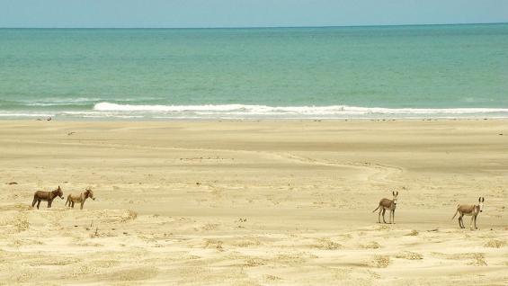 """Parte del paisaje. Los burros caminan libremente por las playas de """"Jeri"""". (Christian Quinteros)"""
