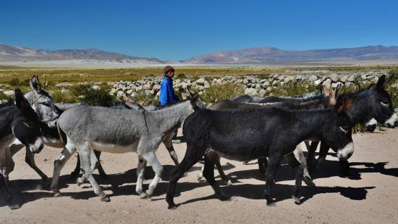 Animales de carga. Forman parte del paisaje de esta región de Catamarca.