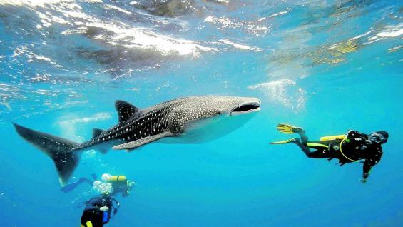 Tiburones ballena se acercan a la superficie de las aguas del mar Caribe, a 30 kilómetros mar adentro de Cancún. Las excursiones permiten nadar con ellos.
