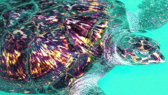 Las tortugas marinas adultas pueden llegar a pesar nada menos que 600 kilos.