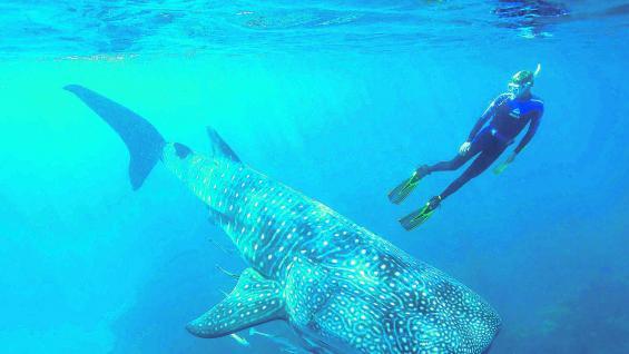 Son considerados los peces más grandes ya que suelen alcanzar, en algunos casos, 18 metros de largo.