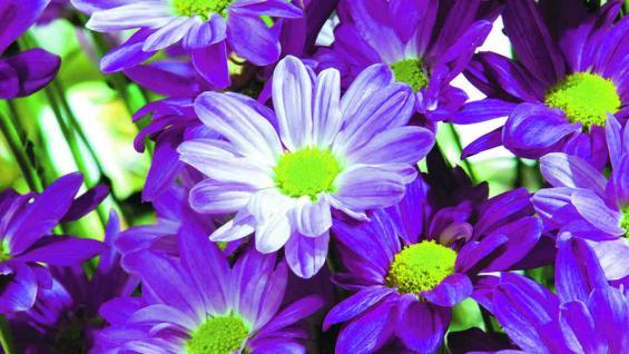 EL CRISANTEMO. La flor símbolo de esta edición de la fiesta.