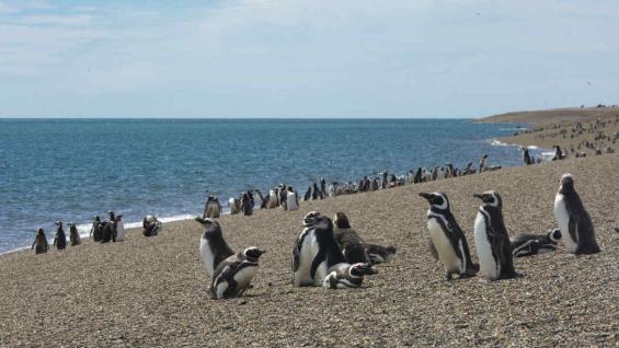 Se puede observar pingüinos desde septiembre a abril en Punta Tombo, Punta Ninfas y Península Valdés. (Mario Cherrutti)