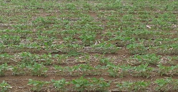 Las lluvias no pasaron por la zona núcleo y se complica la siembra gruesa