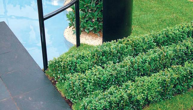 Cercos bajos decorativos, conformados por una sucesión de Buxus sempervirens, permiten delimitar áreas en el jardín.