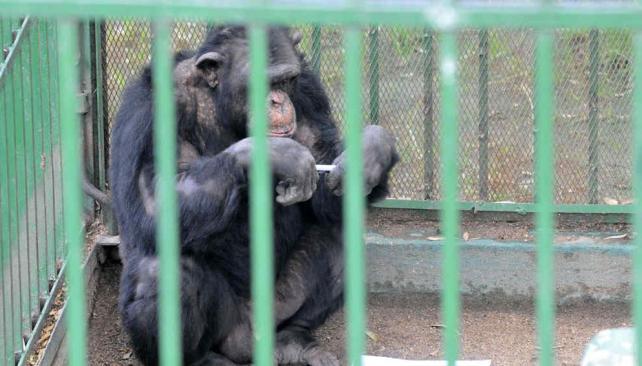 """""""Toti"""". El chimpancé tenía domicilio en el zoológico del parque Sarmiento desde 2008 (Pedro Castillo/Archivo)."""