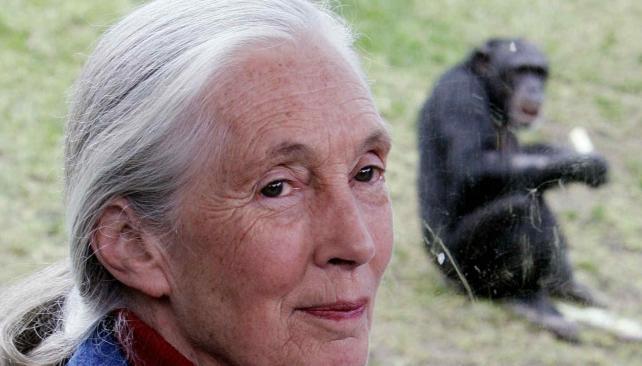 En la selva. Jane Goodall investigó por más de 30 años a los chimpancés en su ambiente natural (AP/Archivo)