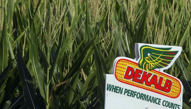 El nuevo herbicida granulado se puede utilizar en los maíces RR2 (LaVoz).